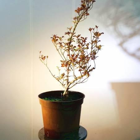 Display bonsai Mesa de madera baja
