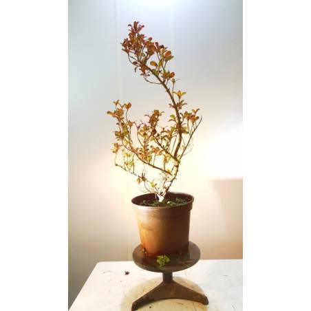 Mesa para bonsai de madera con aros-display