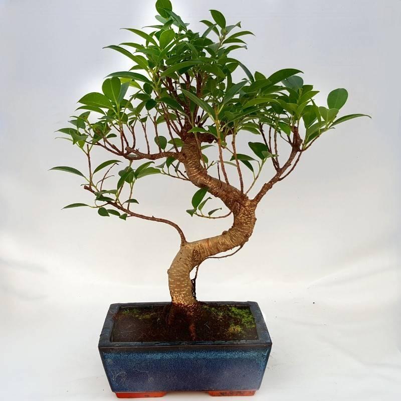 Ficus Retusa Bonsai De 20cm X 30cm En Maceta Cuadrada Azul