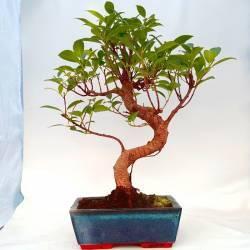 Maceta beige con bordes irregulares para bonsai