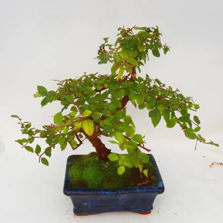Bonsai Azalea en maceta verde