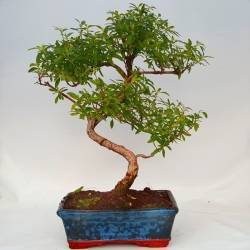 bonsai en cuenco semiesfera