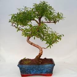 bonsai en cuenco semi esfera
