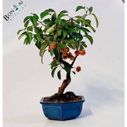 Arbol bonsai de manzano en maceta azul