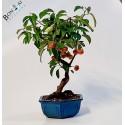 Arbol bonsai de manzanoen maceta azul