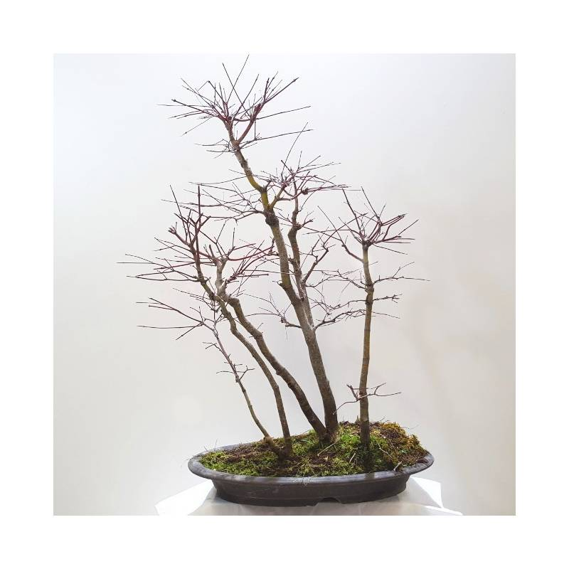 Acer Palmatum Bosque Arce En Grupo Sobre Maceta Plana