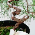 Planton prebonsai pino silvestre en maceta de crecimiento
