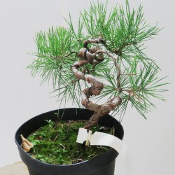 Planton prebonsai pino silvestre 21x21cm en maceta de crecimiento
