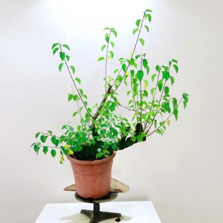 Planton prebonsai prunus mahaleb