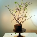 Alerce prebonsai ref 7