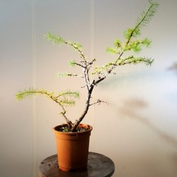 alerce prebonsai ref 9