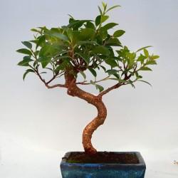 ficus retusa bonsai 15cm x 29 cm en maceta cuadrada azul