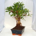 Ficus retusa bonsai de 25cm x 36cm en maceta cuadrada azul