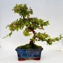 Sageretia teezans bonsai de 15cm x 29cm enmaceta cuadrada azul