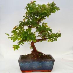 Sageretia teezans bonsai de 20cm x 30cm en maceta rectangular azul