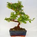 Sageretia teezans bonsai de 20cm x 30cm enmaceta cuadrada azul