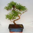 Bonsai Serissa foetida 20cm x 30cm en maceta cuadrada azul