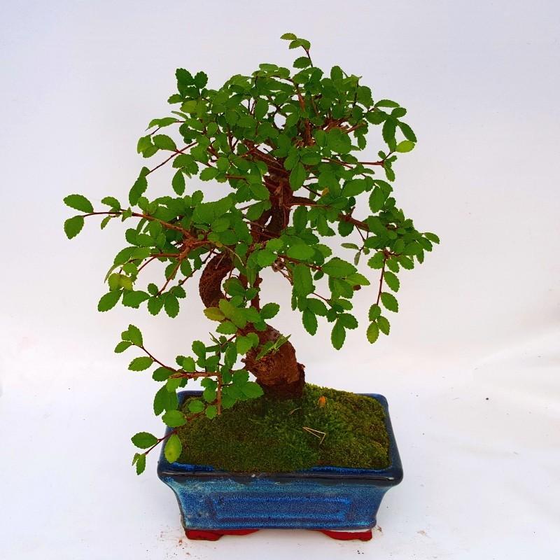 Resultado de imagen de ulmus bonsai