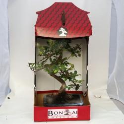 Ulmus parvifolia bonsai de 20cm x 30cm en maceta cuadrada azul