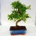 Zelkova parvifolia bonsai de 20cm x 30cm en maceta cuadrada azul