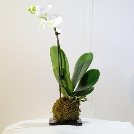 Kokedama orquidea blanca