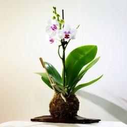 Kokedama orquidea blanca salpicada