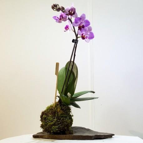 Kokedama orquidea lila