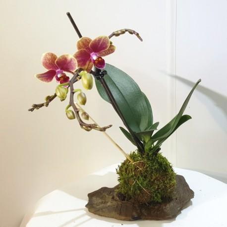 Kokedama orquidea mixta, flor roja jaspeada