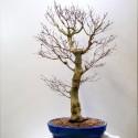 acer palmatum- ARCE en maceta ovalada azul