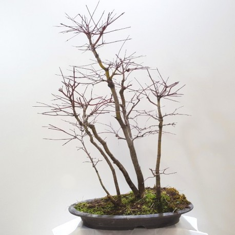 acer palmatum bosque - ARCE en grupo sobre maceta plana