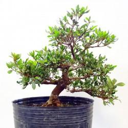 Azalea en maceta de resina