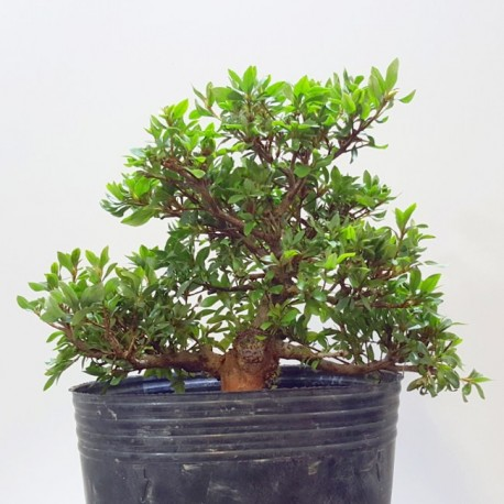 azalea ejemplar en maceta cuadrada verde