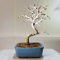 Carpe-carpinus mini de 18 cm