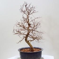 Carpe-Carpinus Turzanoovii de XXcm
