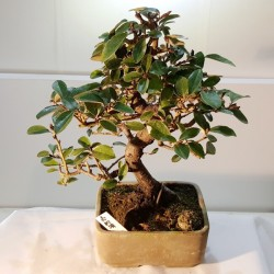 Bonsai Eleagno de 23cm en maceta rugosa marrón