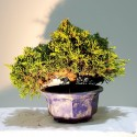 juniperus chinensis en maceta azul redonda