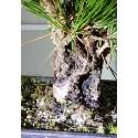 Pino tumbergii 2 de XX cm y X años, en maceta rectangular marrón granulado