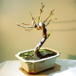 Prunus dulcis de XX cm , X años, en maceta de color crema cuadrada