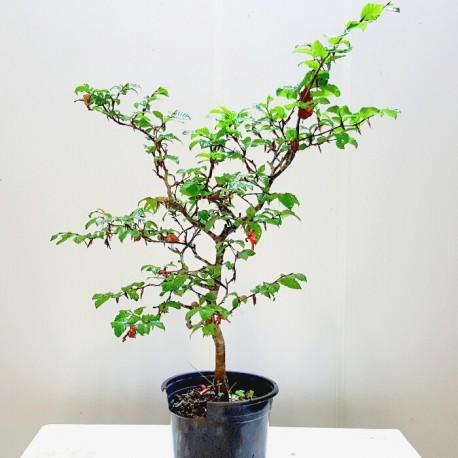 Haya - 18 de 63 cm