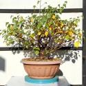 Abedul bonsai betula en maceta de entrenamiento
