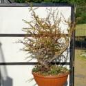 Alerce Bonsai Larix en maceta de entrenamiento-20