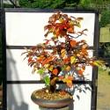 Membriller bonsai cydonia oblonga en maceta redonda.