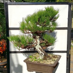 Pino negro bonsai en maceta rectangular 12