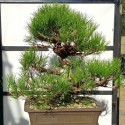 Pino negro bonsai en maceta rectangular 12