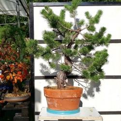 Pino uncinata. bonsai pinus uncinata maceta entrenamiento
