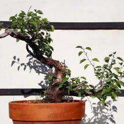 Prunus mahaleb 4 Bonsai Cerezo de Santa Lucia maceta de entrenamiento