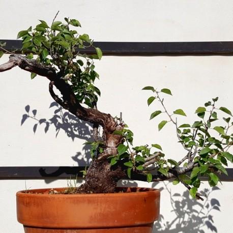 mahaleb 4 bonsai cerezo de santa lucia maceta de entrenamiento