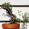 Prunus mahaleb 3 Bonsai Cerezo de Santa Lucia maceta de entrenamiento