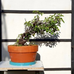 Prunus mahaleb 2 Bonsai Cerezo de Santa Lucia maceta de entrenamiento