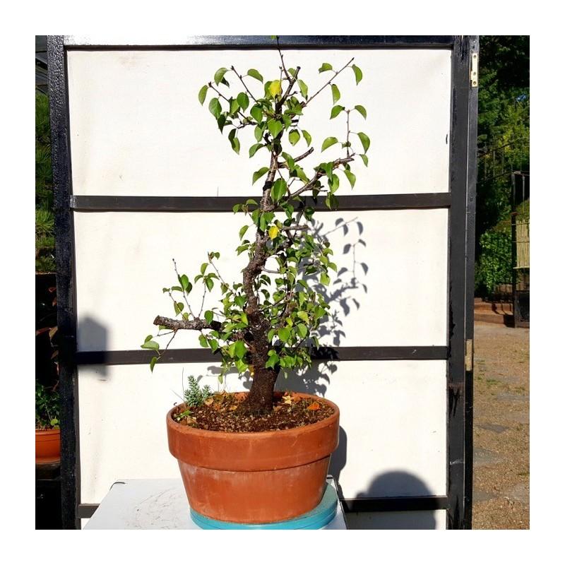 mahaleb 1 bonsai cerezo de santa lucia maceta de entrenamiento